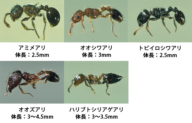 ヒアリとアカアリの違いは?その他類似アリも画像で比較!