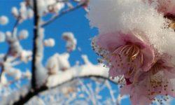季節外れの雪が積もった桜「雪桜」の美しい写真まとめ